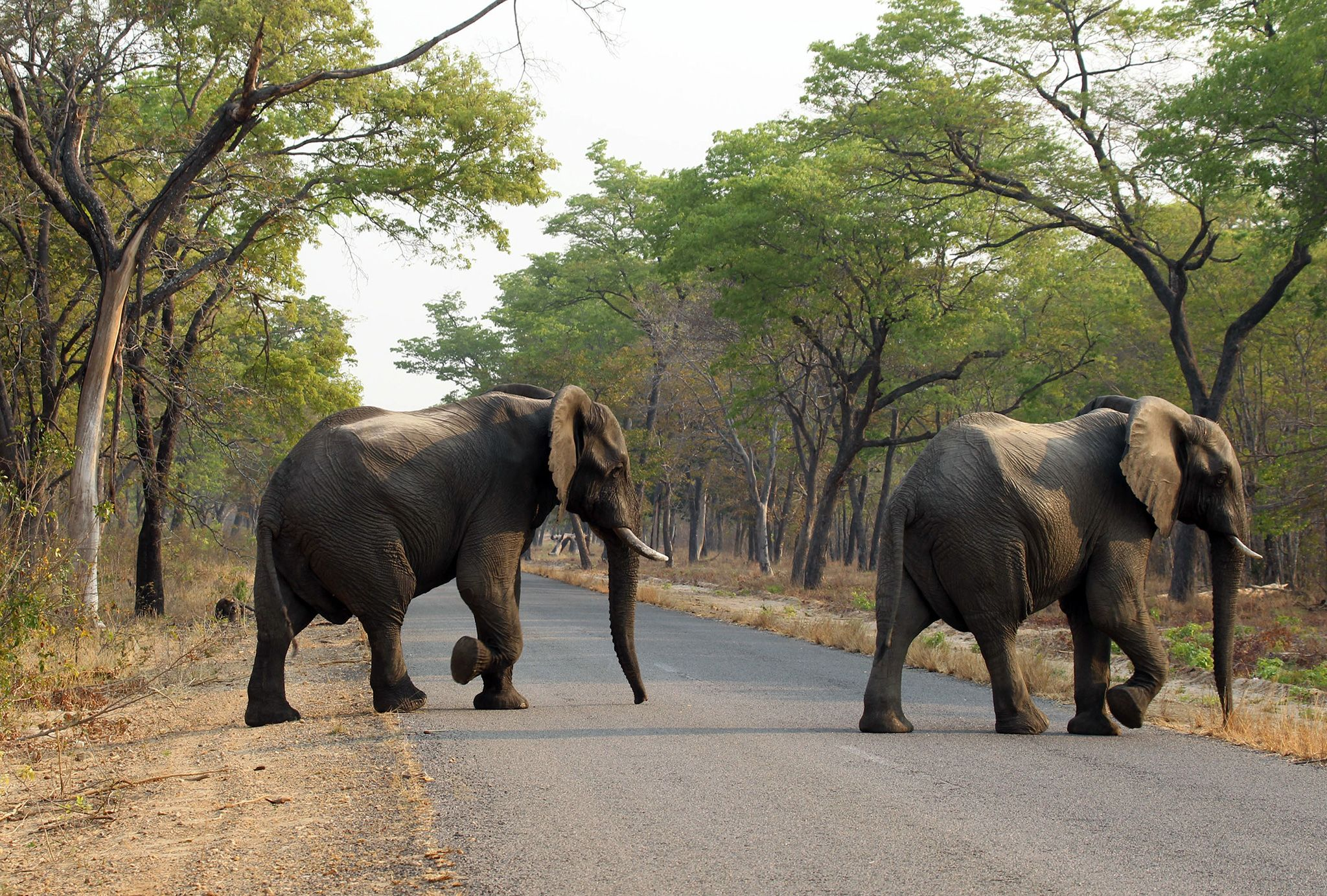 Mining Director Busted For Elephant Poisonings Wild Elephant