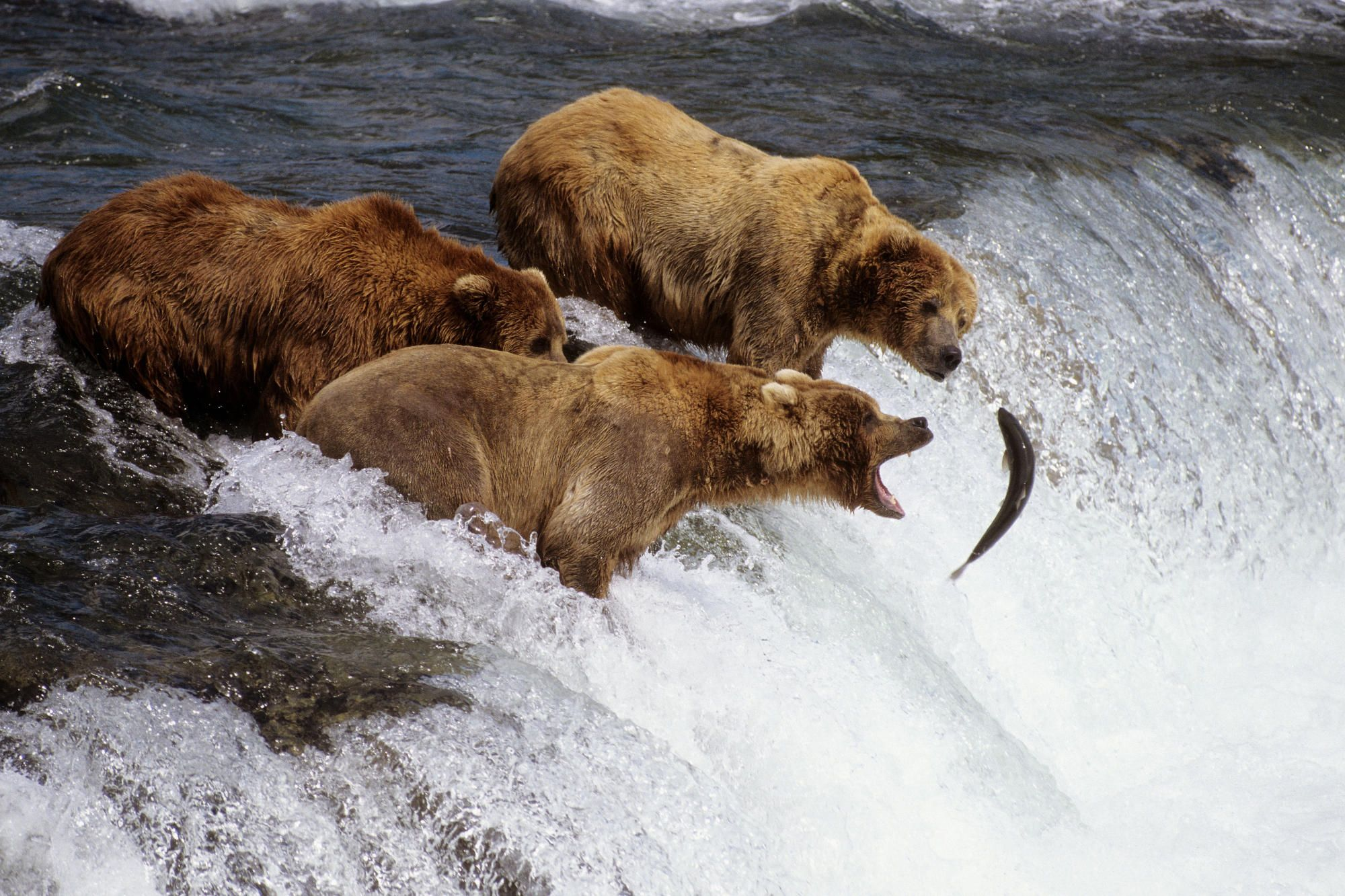 Brown Bears Catching Salmon, Brooks River, Katmai National ...