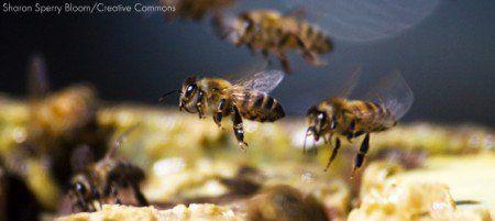 Abelhas aparecem em lista de espécies em extinção