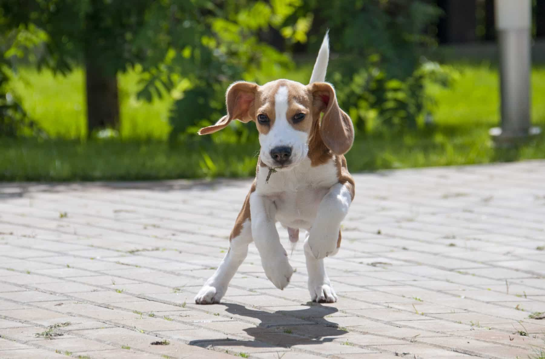 Beagle Dog Beagle Dog For Sale Beagles For Sale Online Beagle