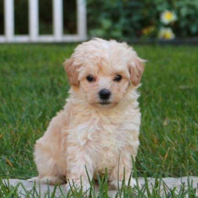 Maltipoo Puppies For Sale Maltipoo Breed Profile Cute Puppies