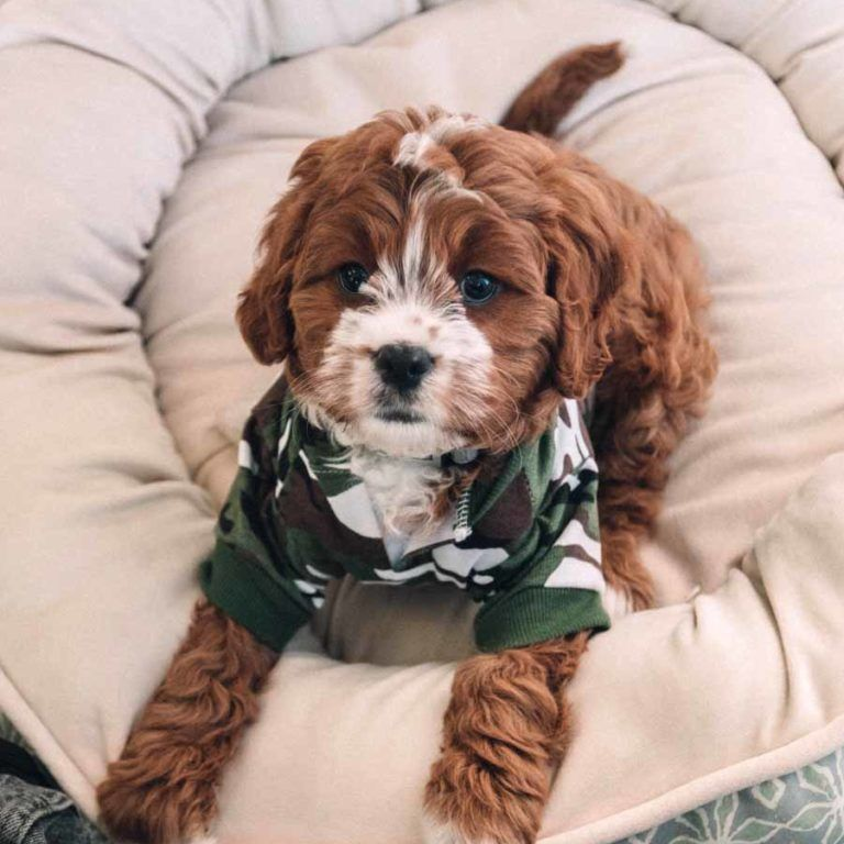 Adopt A Dog Best Dog Breeds Cavapoo Puppies Cavapoo Puppies For Sale