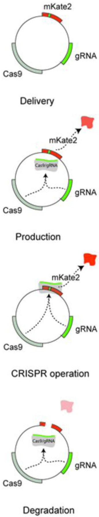 CRISPR technology can now be used to control the amount and timing of protein expression in a cell.