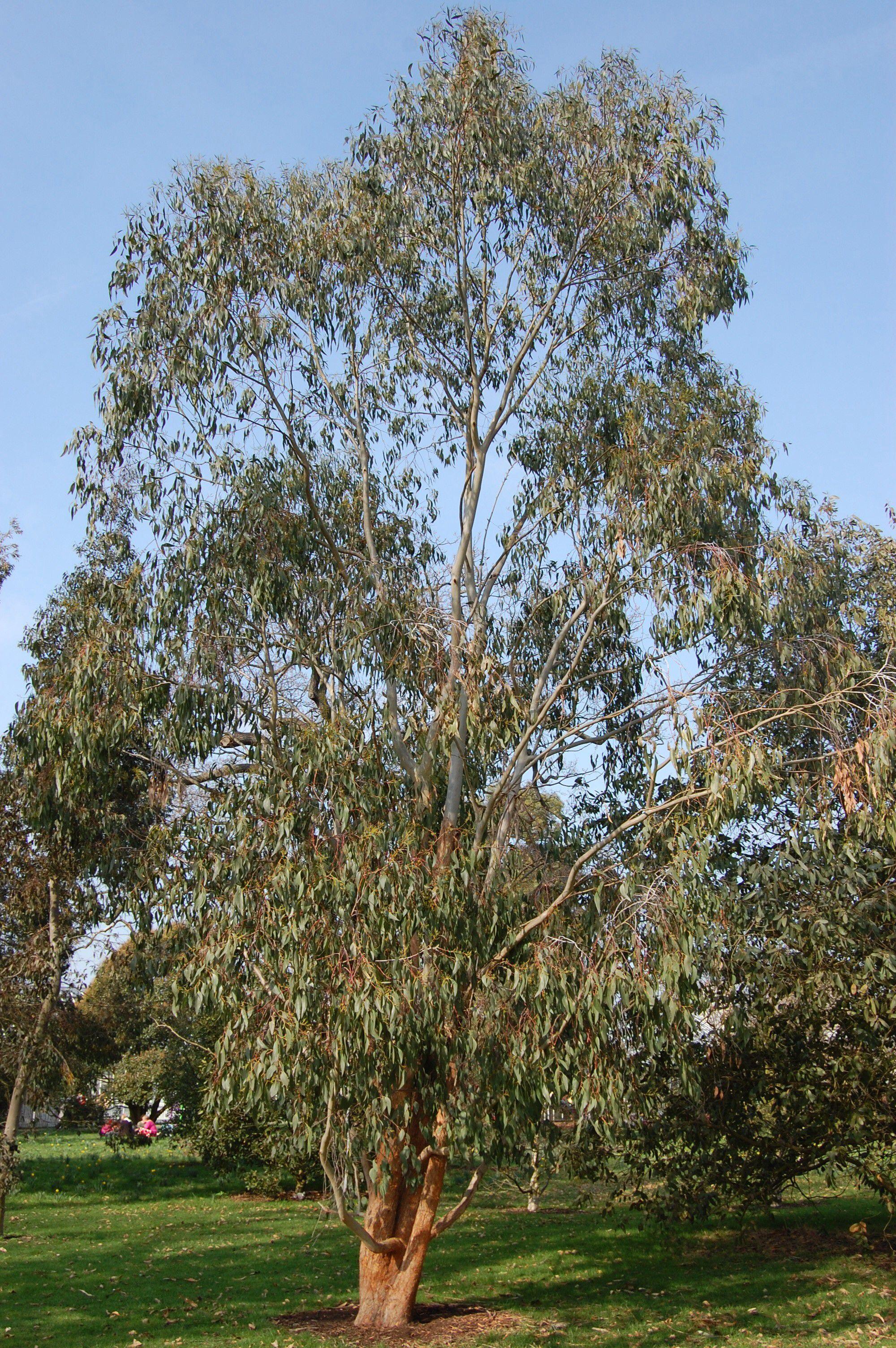 Alpine Ash Mountain Ash Eucalyptus Delagatensis Native To South