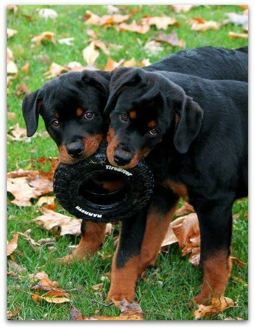 From FB Rottweiler Group Sarge & Captain