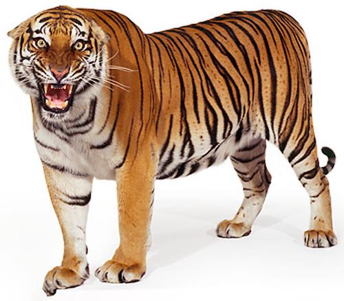 tiger png - Buscar con Google