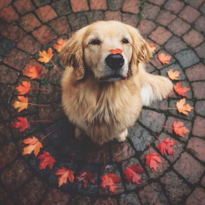 Get Excellent Tips On Golden Retriever Dogs They Are Actually