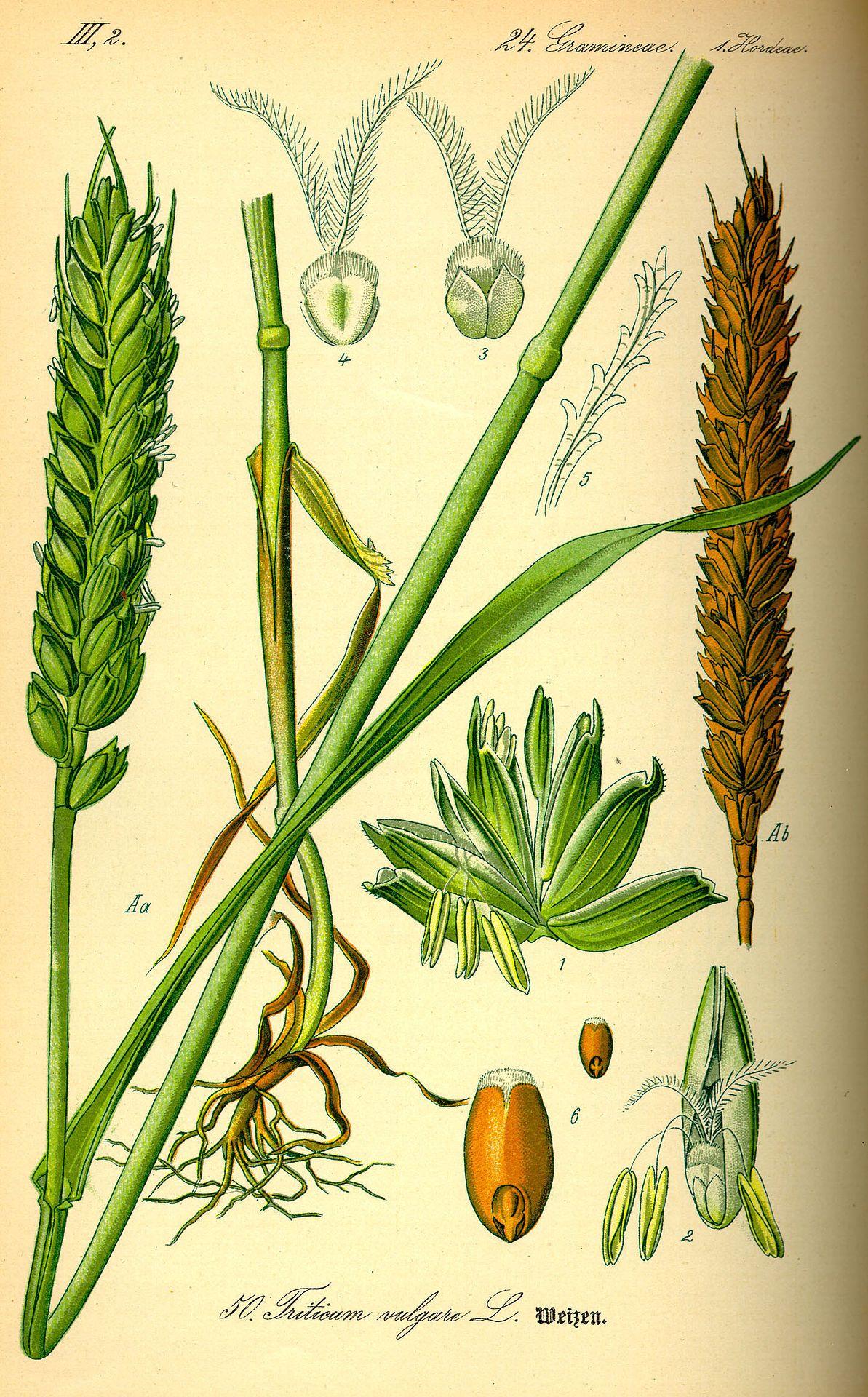Ilustracion Morfologia De La Planta De Trigo Dibujos Botanicos Grabados Botanicos Ilustracion Planta