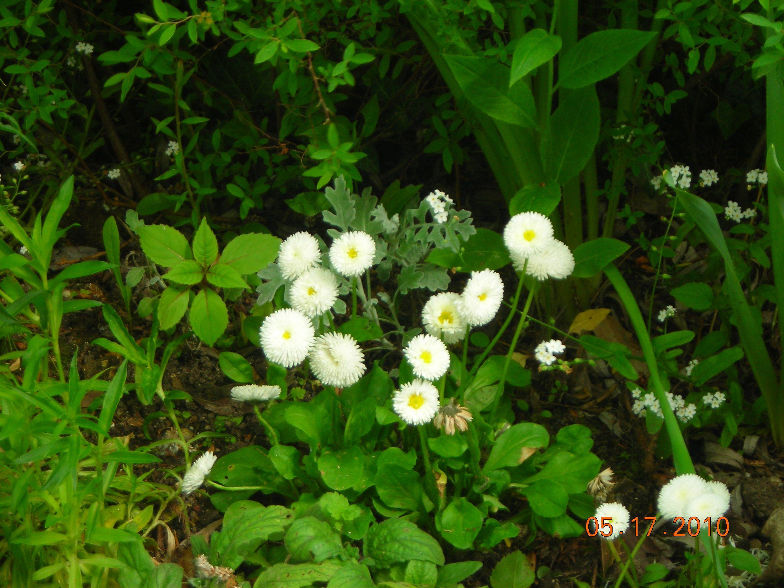 Simplemente flores blancas... En Giverny- Francia