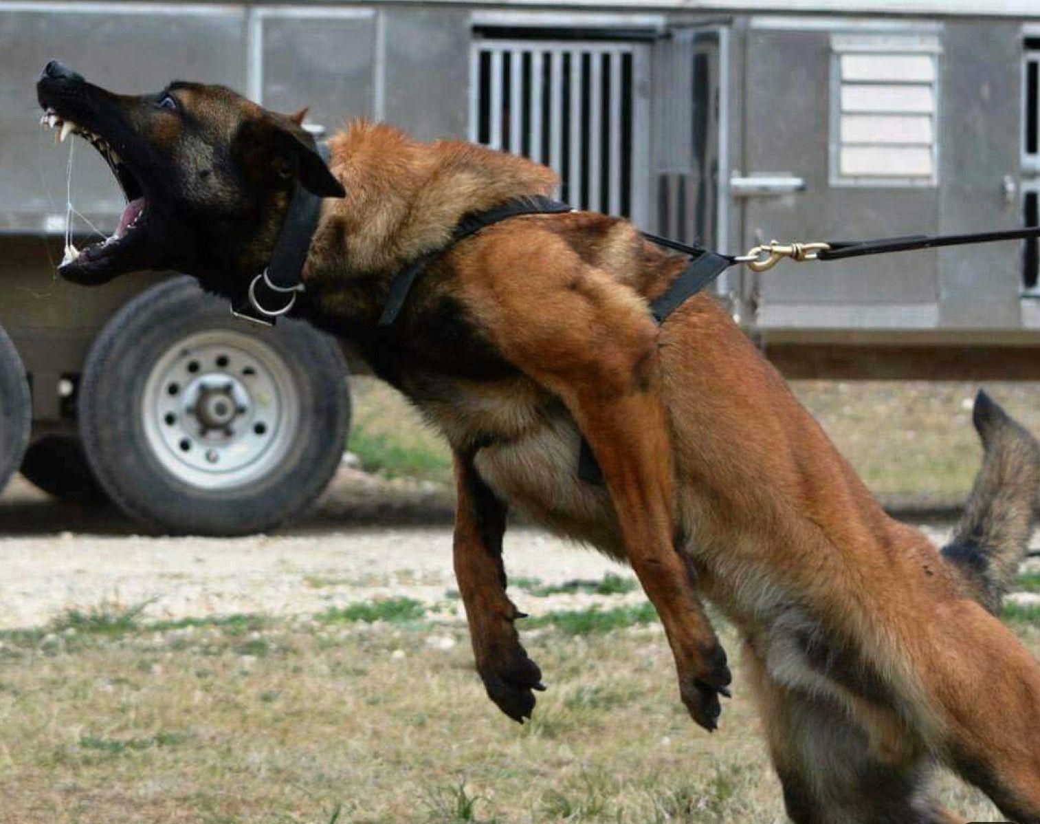 Pin By Kristy Rachal On Dogs Belgian Malinois Dog Belgian