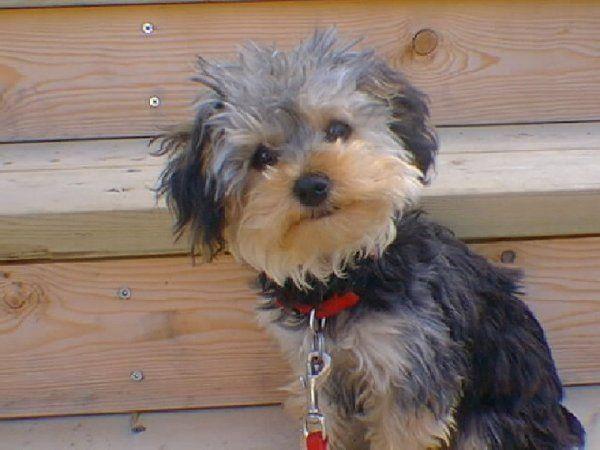 yorkie poodle mix Terrier poodle mix, Yorkshire terrier