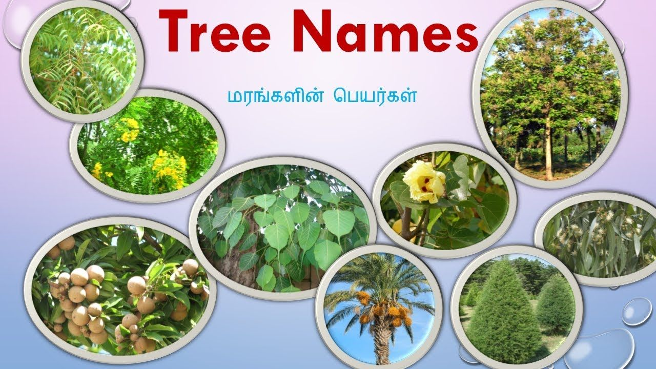 77 Tree Names With Pictures in Tamil and English Trees