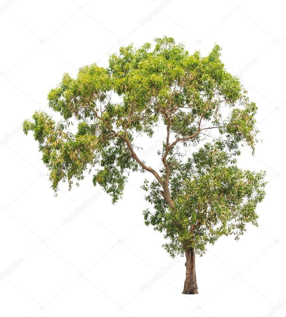 Acacia auriculiformis, commonly known as Auri, Earleaf acacia, E - Stock , #AFF, #commonly, #auriculiformis, #Acacia, #Auri #AD