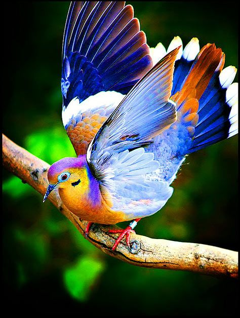 This Would Be Um Some Kind Of Dove Perhaps One That Had An Accident In A Paint Store Shiny Dove Beautiful Birds Pretty Birds Colorful Birds