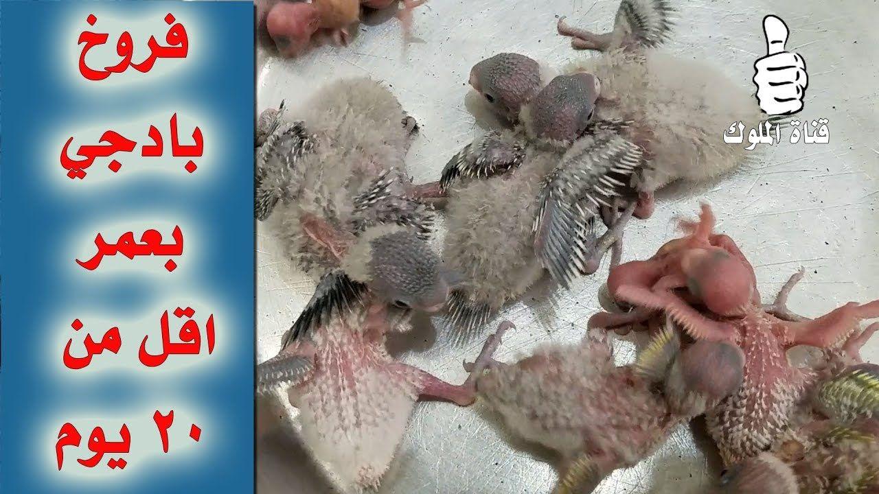 انتاج فروخ طيور الحب البادجي بعمر اقل من 20 يوم Budgies Hamster Animals