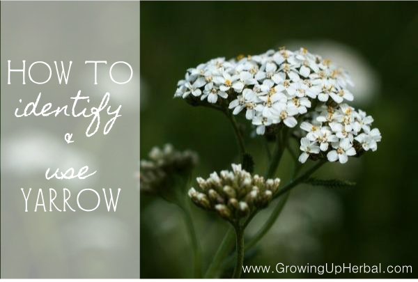 How To Identify And Use Yarrow Yarrow Flower Flower Essences Healing Plants