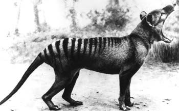 Thylacine: presumed extinct, native to Tasmania.