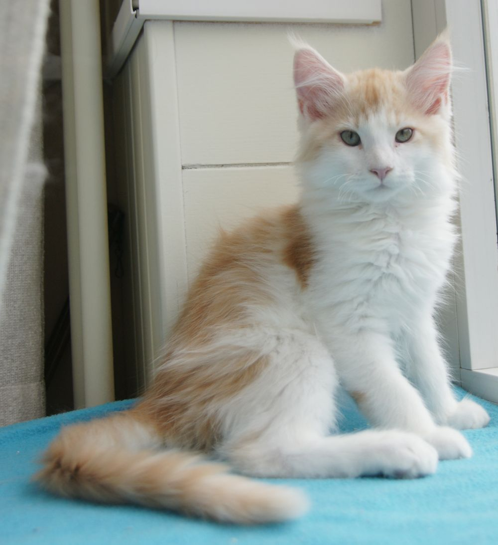 Red Silver Tabby Blotched White Bicolor Maine Coon |     La Lau's Careless Love - ds 03 22 - dob: 2013-10-24