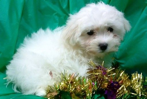 Litter Of 7 Maltese Poodle Toy Mix Puppies For Sale In Conowingo