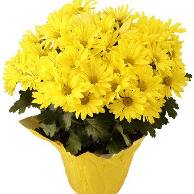 Jak Dbac O Chryzantemy Doniczkowe E Ogrodek Plants House Plants Dyi Flowers