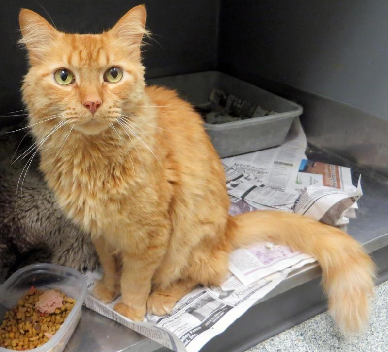 Adopt Charlie On Petfinder Orange Cat Adoption Medium Hair Styles