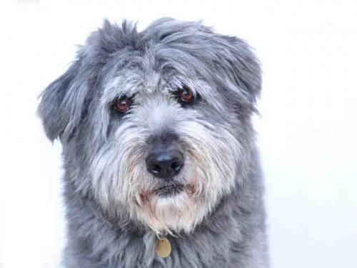 PETEY is an adoptable Bearded Collie Dog in Denver, CO