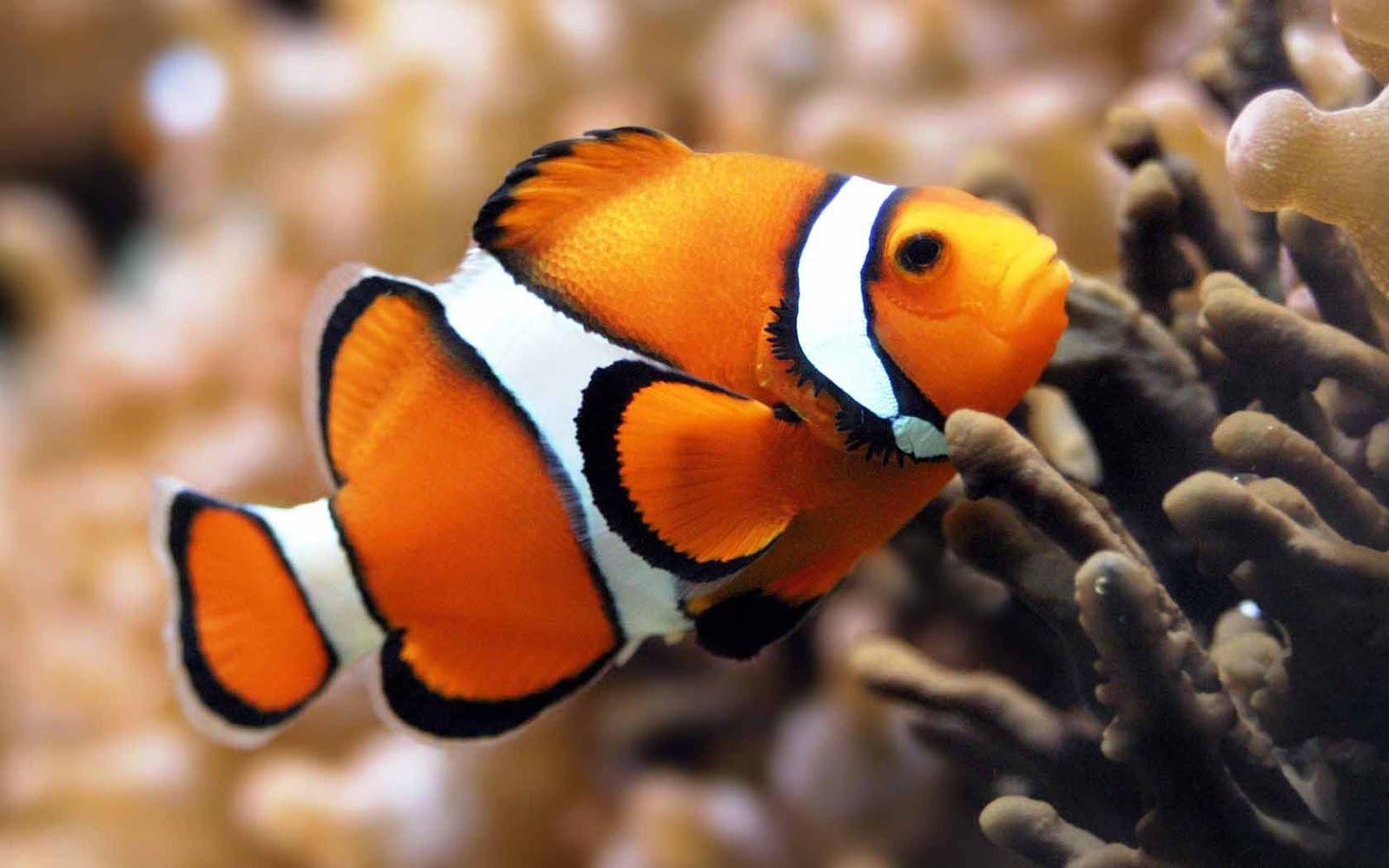 Fish Hd Wallpaper Clown Fish Marine Fish Sea Fish