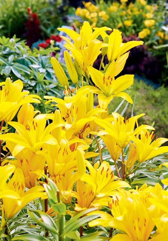 The Yellow Blooms Asiatic Lily Beautiful Flowers Asiatic Lilies Yellow Flowers