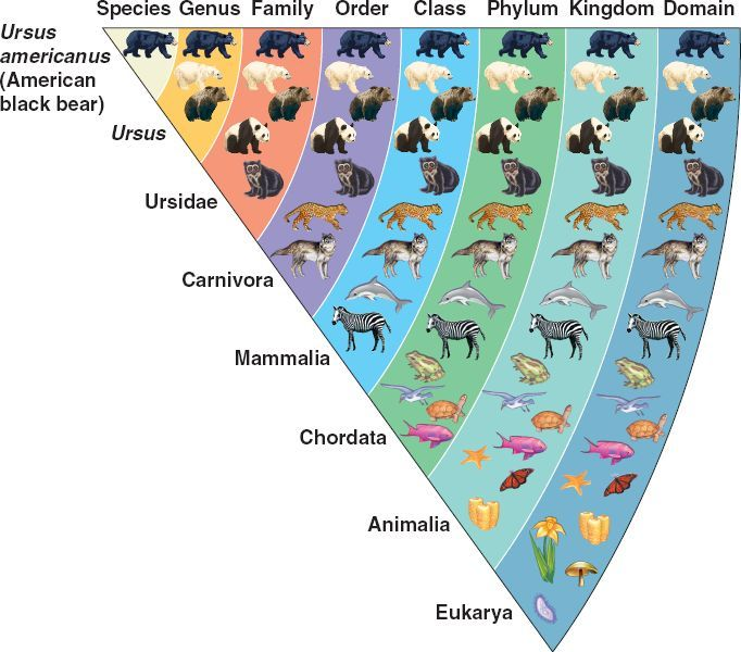 Kpcofgs Kingdom Phylum Class Order Family Examples Linnaean Jpg 682 600 Animal Classification Taxonomy Biology Science Projects For Kids