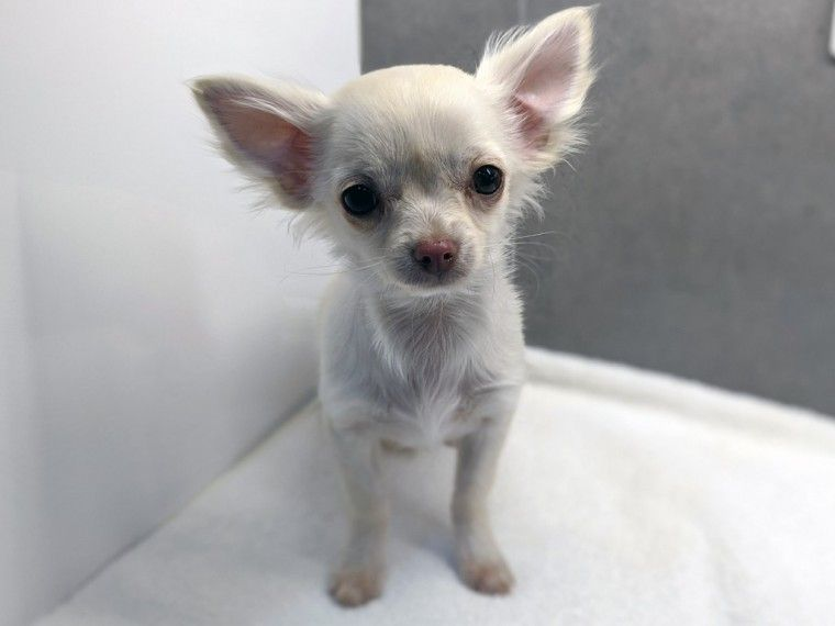 Kennel Club Registered Long Haired Chihuahua Puppy Chihuahua Puppies Chihuahua Long Haired Chihuahua Puppies