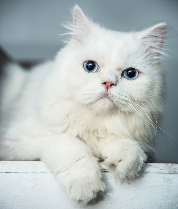 7 Cool Facts About Cat Eye Colors Persian kittens, Cat