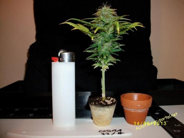 Bonsai marijuana plant   bonsai bonsai bonsai   Pinterest