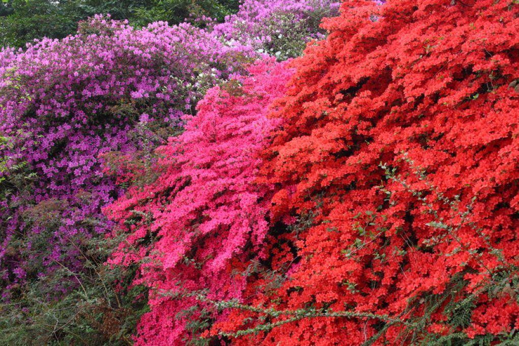 Rhododendron Winterhart Winterhart Garten Gartenpflanzen
