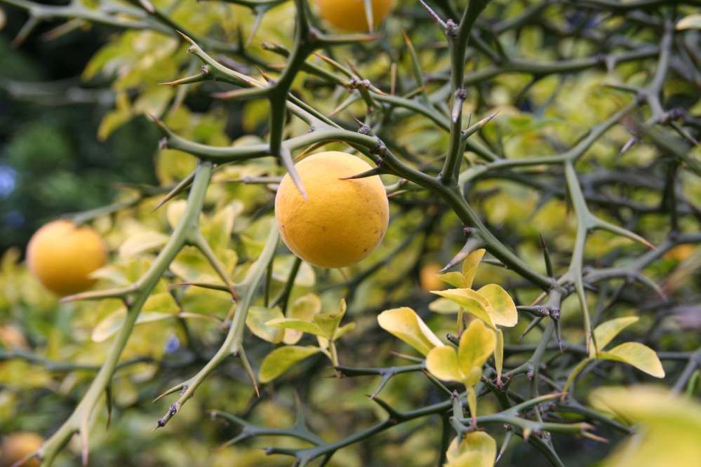 Poncirus Trifoliata Aka Hardy Orange Can T Wait For Mine To Get Large Enough To Fruit Like This One Fruit Bushes Citrus Trees Growing Tree