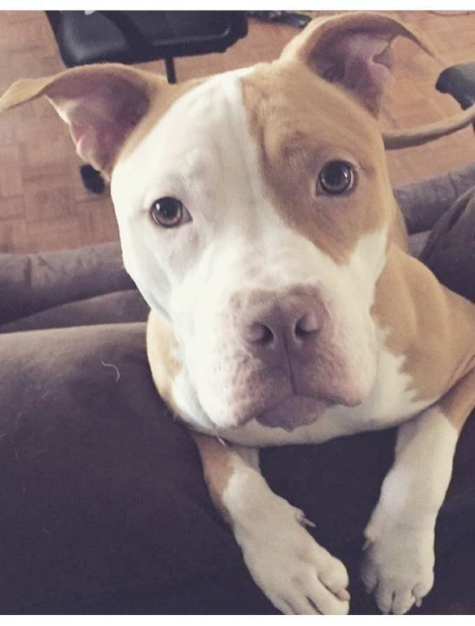Impressive >> Pitbull Mix With Boxer For Sale valuable