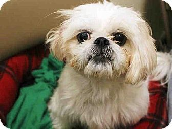 Brooklyn Ny Shih Tzu Mix Meet Muneca A Dog For Adoption Http