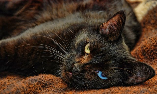 Black Cat Meow The Odd Eyed Cats Different Colored Eyes Cat Urine