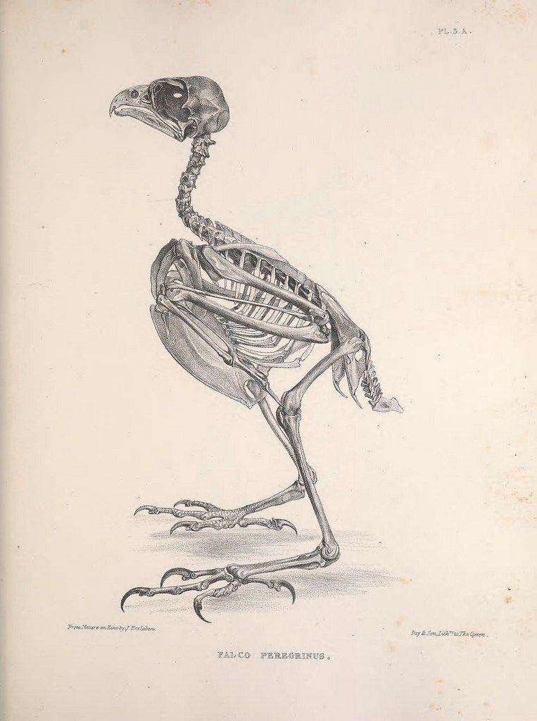 Pin von VictoriaART auf skeletons of birds | Pinterest
