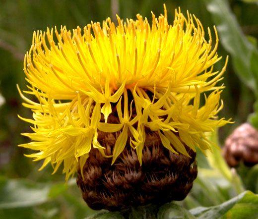 Cornflower Yellow Globe Seeds Centaurea Macrocephala Best Perennials Hardy Perennials Cornflower