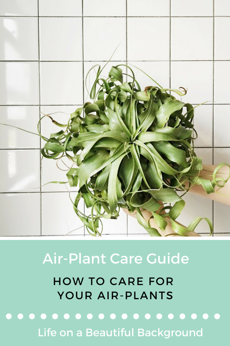 AIRPLANT CARE GUIDE Air plants care, Air plants, Plants