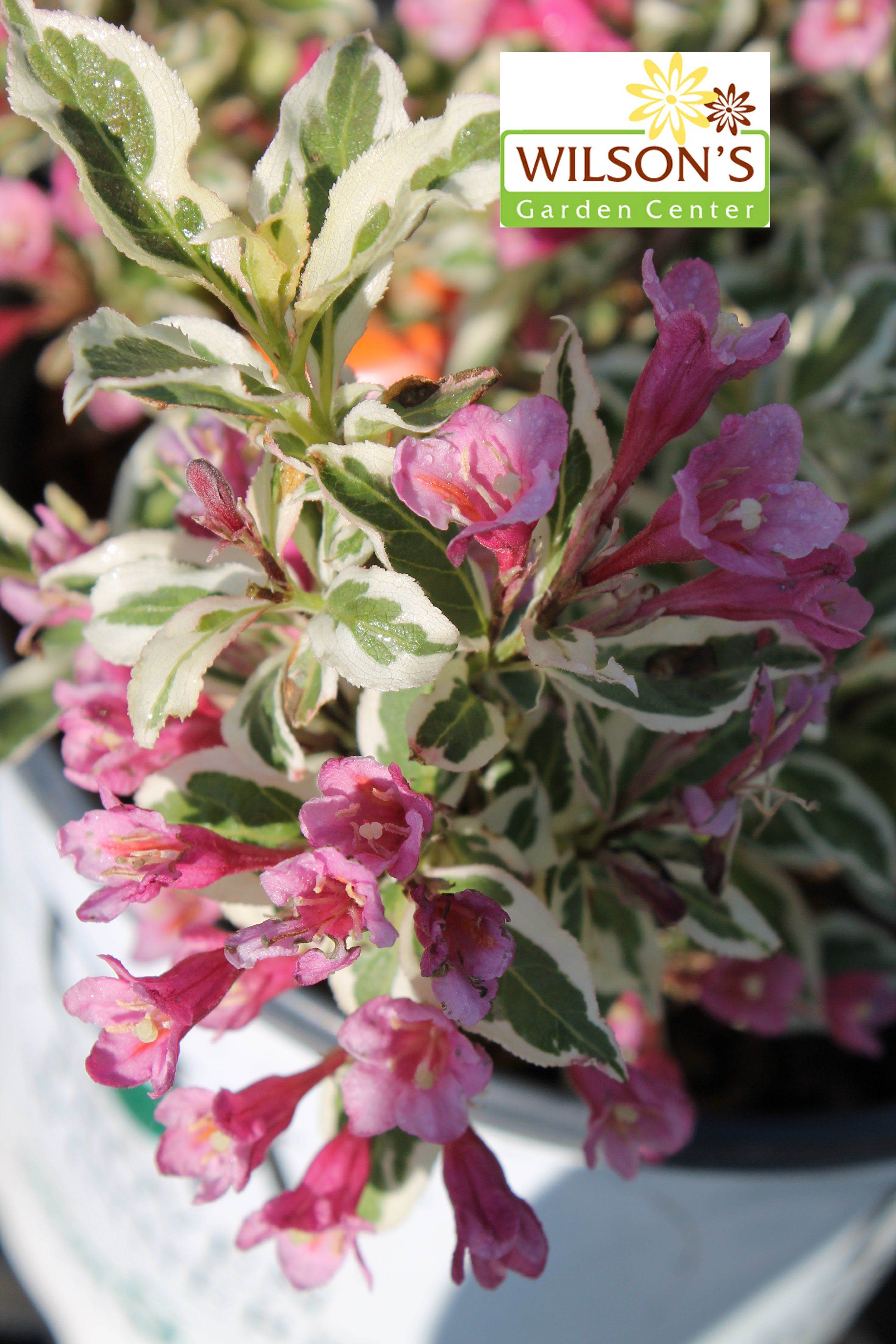 Weigela My Monet Pink Spring Flowers And Green And White