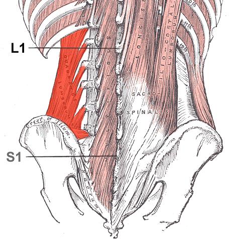 El músculo cuadrado lumbar se asocia comúnmente con dolor de espalda ...