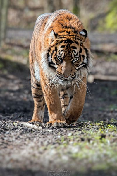 magicalnaturetour:  On the prowl… by Seb-Photos