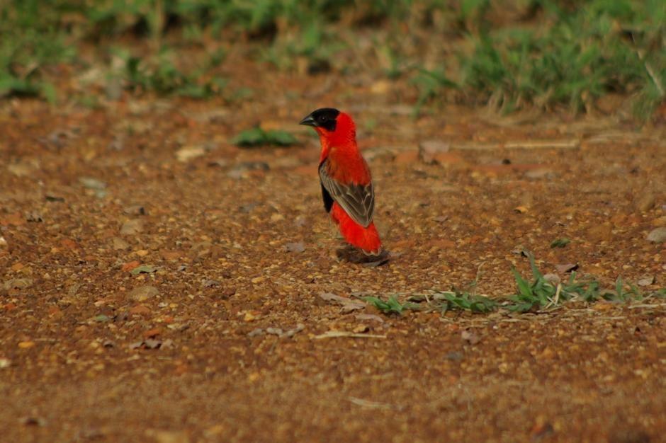 West Nile Red Bishop