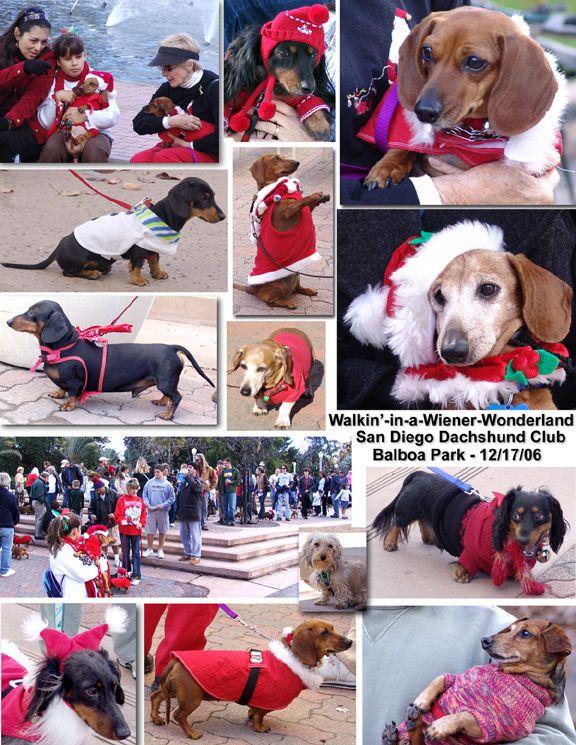 Walking In A Weiner Wonderland San Diego Dachshund Club Dog