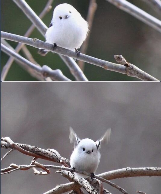 Japanese Long Tailed Tit :) So cute!!!