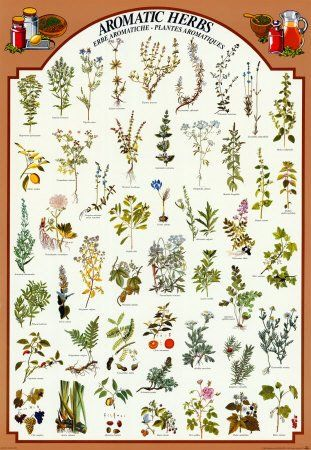 Aromatic Herb Identification With Images Herb Prints