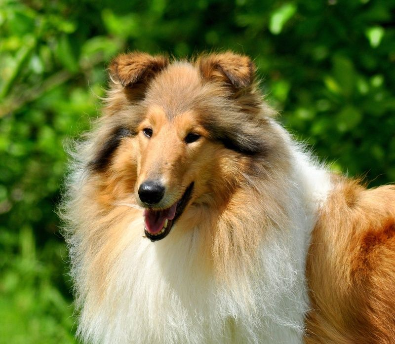 Rough Collie such a beauty WICANI The home of happy