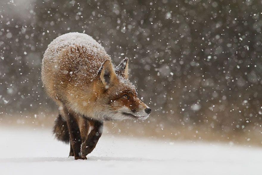 """Képtalálat a következőre: """"man fox in snow hunting"""""""
