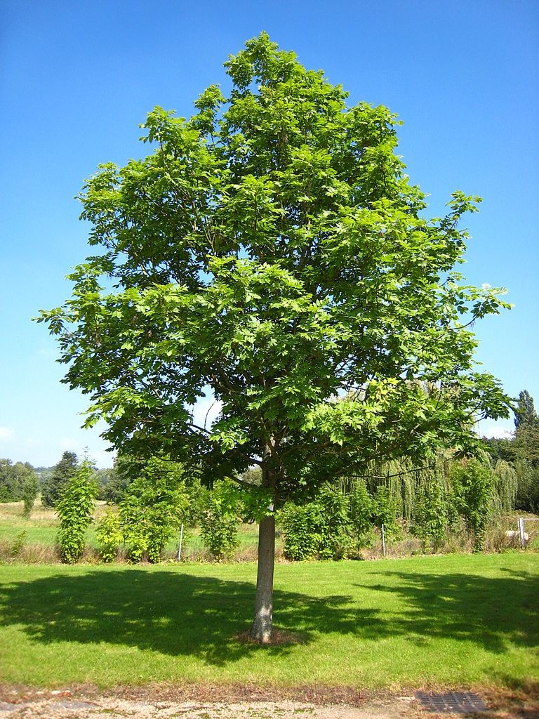 Cutting Back Ash Trees – Learn How And When To Prune Ash Trees | Ash ...